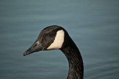 Closeup of a Canada Goose (Branta canadensis) Stock Images