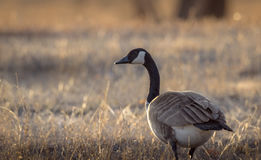 Closeup of a Canada goose  in the yellow grass background. In migration during hunting season. Sunset. Wildlife animal, field, meadow, prairie. Wyoming, USA Stock Image