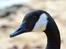 Closeup of a Canadian goose Royalty Free Stock Images
