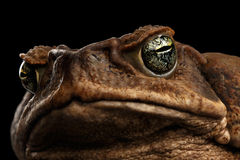Closeup Cane Toad - Bufo marinus, giant neotropical, marine,  Black Stock Photos