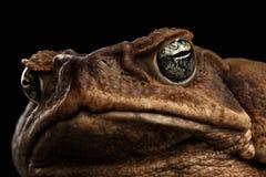 Closeup Cane Toad - Bufo marinus, jätte- neotropical som är marin-, svart Arkivfoton