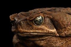 Closeup Cane Toad - Bufo marinus, jätte- neotropical som är marin-, svart Arkivbild