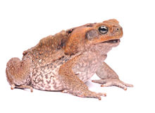 Closeup Cane Toad isolated on white background Royalty Free Stock Images