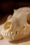 Closeup on a Canine Skull Stock Photo
