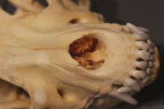 Closeup of a Canine Skull Snout Stock Images