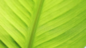 Closeup of canna leaf. View of the underside of a tropical leaf stock video