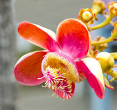 Closeup of Cannonball flower Stock Photos