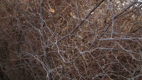 Closeup capture of interlaced tree branches without leaves. stock video footage