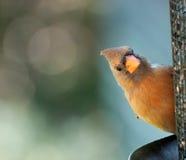Closeup of Cardinal Royalty Free Stock Photo
