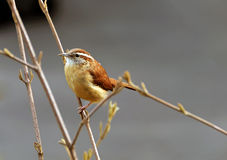Closeup of a Carolina Wren Stock Images