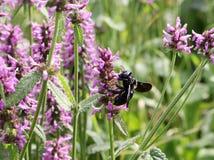 Closeup of Carpenter bee ,Xylocopa violacea, on the purple betony flower, Betonica officinalis, medicinal plants, herbs stock photo