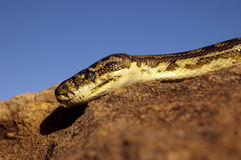 Closeup of carpet python on rock with blue sky behind Royalty Free Stock Image