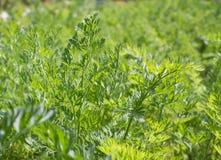 Closeup of carrots plants Stock Photography