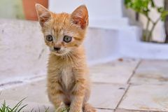 Closeup carroty or rufous little fluffy kitten Royalty Free Stock Image