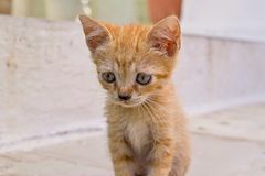 Closeup carroty or rufous little fluffy kitten. Rufous or carroty little fluffy kitten sitting closeup Royalty Free Stock Photography