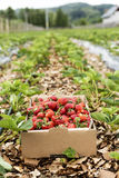Closeup of carton box full with fresh red strawberries Stock Photos