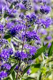 Closeup of Caryopteris, heavenly blue clandonensis, perennial flowery plants Royalty Free Stock Photo