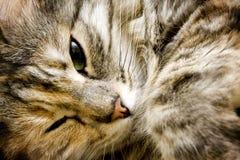 Closeup of a cat. Closeup of a beautiful cat sleeping on the bed Stock Photos