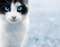 Closeup of cat. Picture of closeup cat, on blue Stock Images