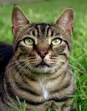 Closeup of a cat. Beautiful tabby closeup portrait Stock Photo