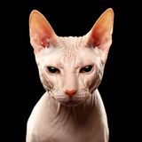 Closeup Cat of breed Sphynx Looking in camera on Stock Photo