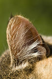 Closeup of a cat ear. With long hair royalty free stock photo