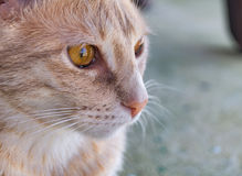 Closeup from a cat. A face from a cat in Texas watching outside Royalty Free Stock Photos