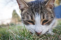 Closeup of cat head eating something in grass outdoor shot. Daylight stock photography