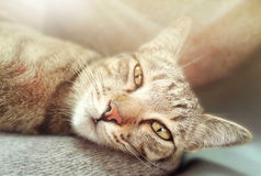 Closeup of cat is laying on gray carpet. With sunshine royalty free stock images