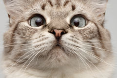 Closeup Cat with Round Eyes Curiosity Looking on His Nose Royalty Free Stock Image