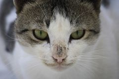 Closeup of a cat`s head with green eyes Stock Image