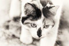 Closeup on cat walking slowly Stock Photography