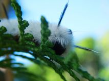 Closeup Caterpillar black and white color poisonous in sunlight. A macro photo of a Black and White Caterpillar against blue sky Royalty Free Stock Image