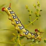 Closeup Caterpillar Of Spurge Hawk Moth Eats The Plant. Square Composition Stock Image