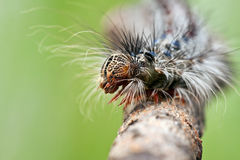 Closeup of a caterpillar's head Stock Image