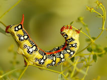 Closeup caterpillar of Spurge hawk moth eats flowers of Euphorbia stepposa Stock Photography