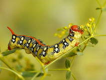 Closeup caterpillar of Spurge hawk moth eats flowers of plant Royalty Free Stock Photo