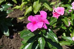 Closeup of Catharanthus roseus with pink flowers stock photos