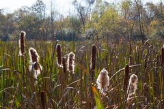 Closeup of Cattails Stock Images