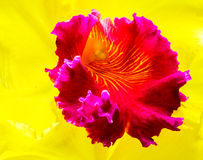 Closeup of Cattleya Orchid Royalty Free Stock Photos