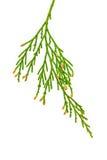 Closeup of Cedar Branch Stock Photos