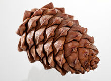Closeup of a cedar cone Royalty Free Stock Images