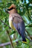 Closeup of a Cedar Waxwing bird singing Stock Images