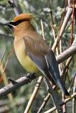 Closeup of a Cedar Waxwing bird siting on a bare branch Royalty Free Stock Photo