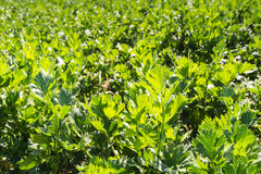Closeup of Celeriac plants in a sunny field royalty free stock images