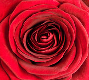 Closeup on Center of Beautiful Red Rose Royalty Free Stock Photo