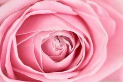 Closeup center of soft pink rose. Series Royalty Free Stock Image