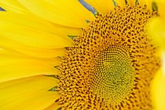 Nothing Says Summer Like A Sun Flower. Closeup of the centre of a bright yellow sun flower showing the petals and seeds Stock Image