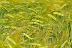 Closeup of cereal field in summer Royalty Free Stock Images