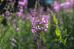 Closeup of Chamaenerion angustifolium, also known as fireweed. Closeup of Chamaenerion angustifolium, also known as fireweed, great willowherb and rosebay royalty free stock image